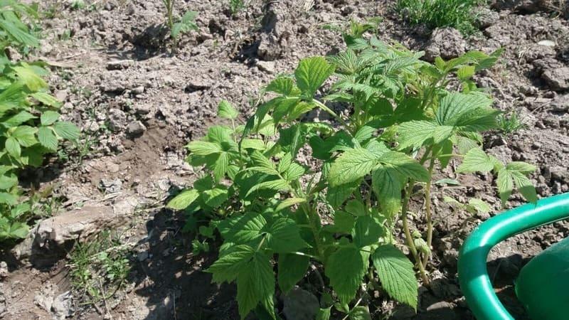 Himbeerpflanze ohne Terra Preta - 100% Lehmboden - blasse Farben an den Blättern zeigen den Nährstoffmangel auf.