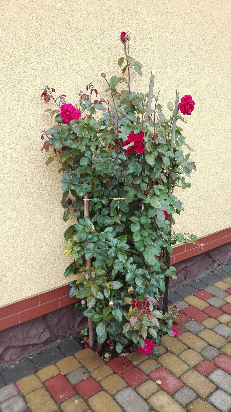 Rosen sind mit Terra Preta sehr gut gewachsen