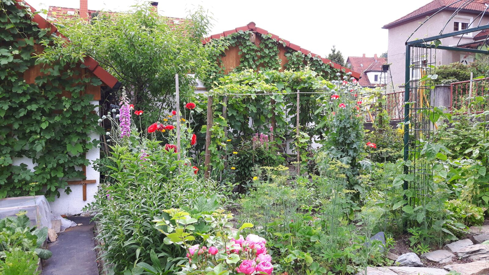 Rose vor der Regenerierung mit Terra Preta Heilerde