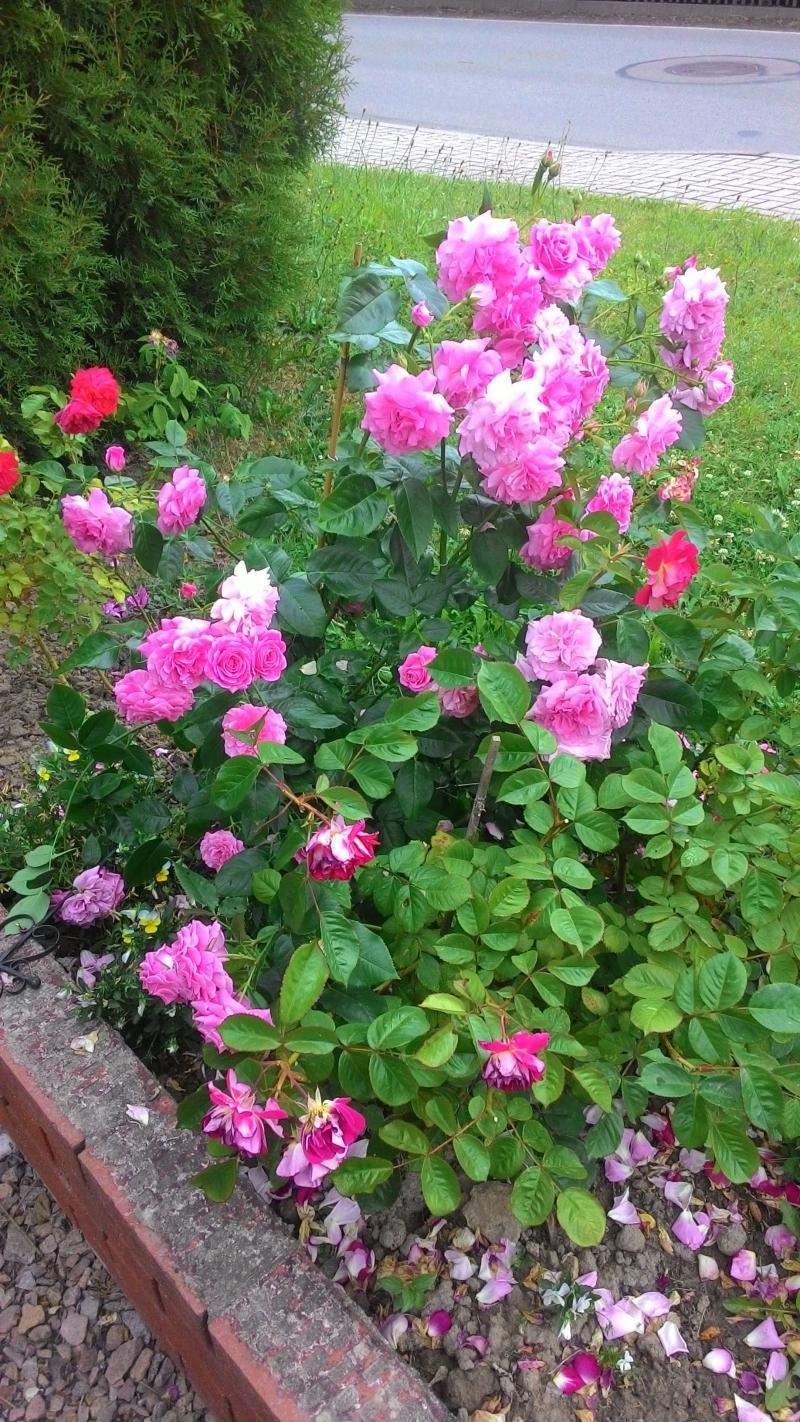 Rosen wachsen sehr schnell mit Terra Preta