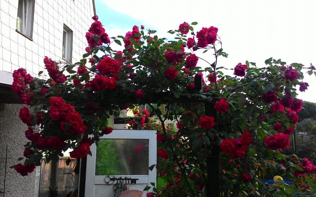 prächtige Rosen und Mykorrhiza - passt gut zusammen!