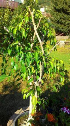 Ficus Benjamin nach 5 Monaten mit neuer Terra Anima Humuserde. Farben und Blattwuchs sind kräftig.