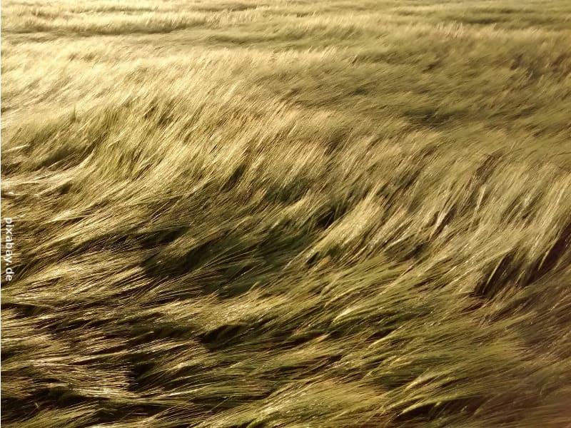 geschwächter Weizen durch zuviel Stickstoffzugabe