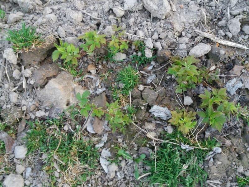Himbeerpflanze mit Zugabe von 20% Terra Preta Kompost. Das satte Grün zeigt keinen Nährstoffmangel an.