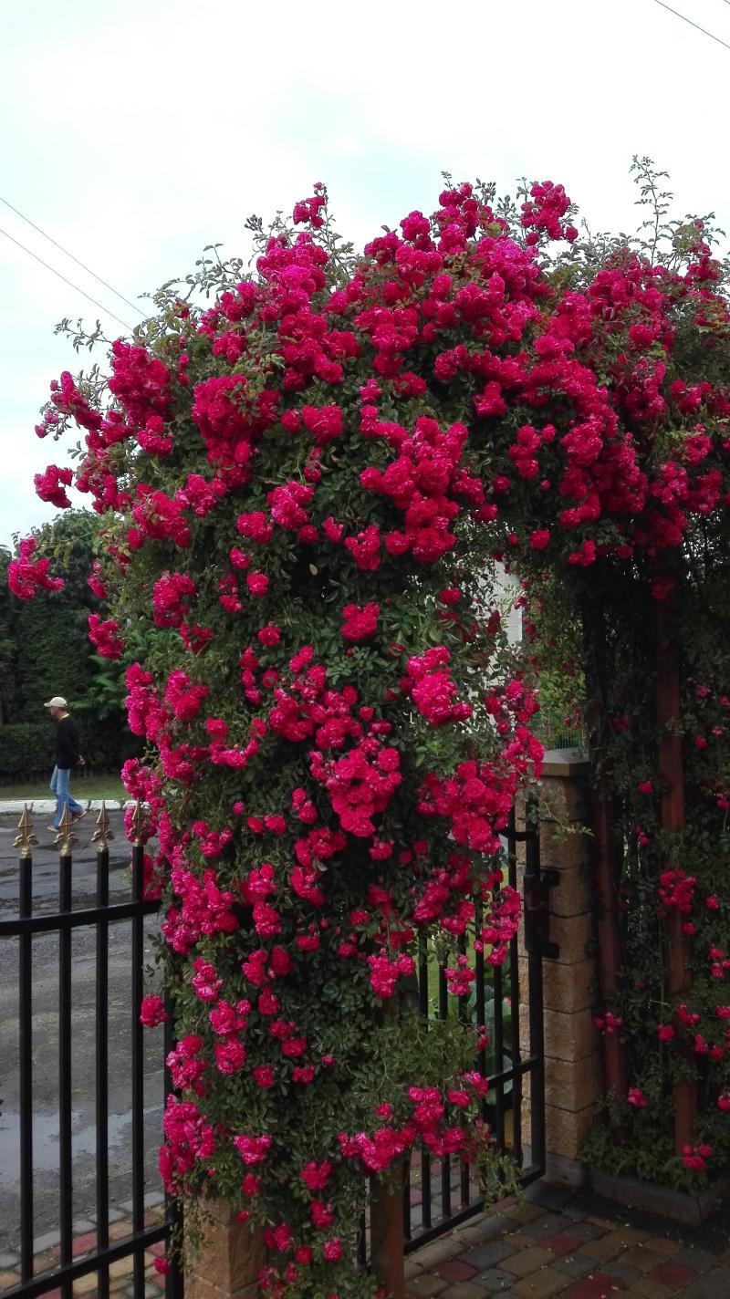 Rosenblüten durch Terra Preta