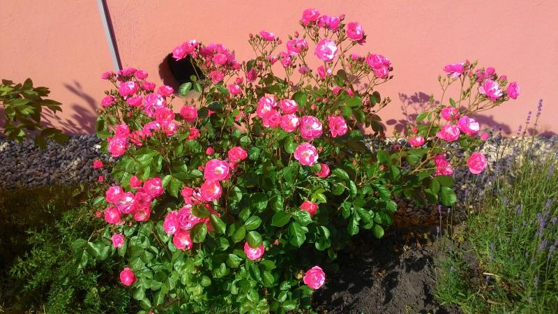 Rosen - unglaubliche Blütenfarben mit Terra Preta