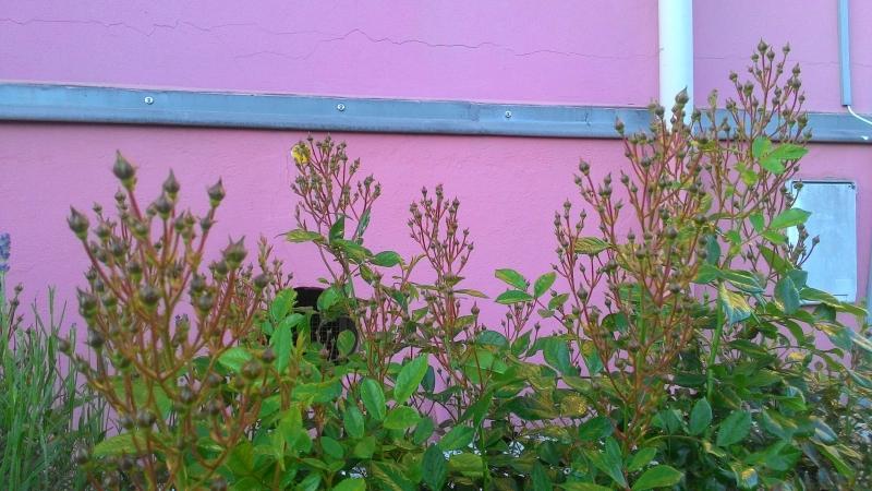 Rosen mit Terra Preta angereichert