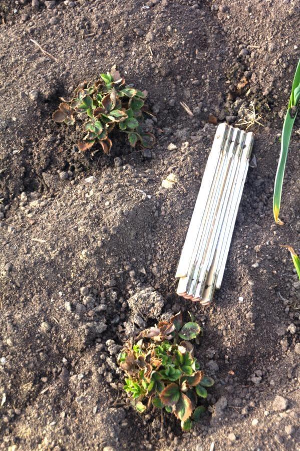 Erdbeerpflanzen überwintern ohne Terra Preta