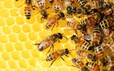 Glyphosat stört die Darmflora von Honigbienen
